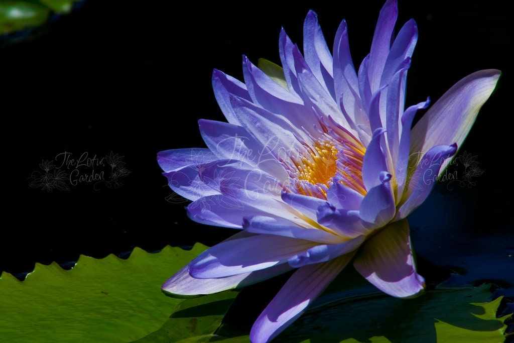 WATER LILY No. 925  - Paper Art Print - Nature photography flower floral print photo - TheLotusGarden