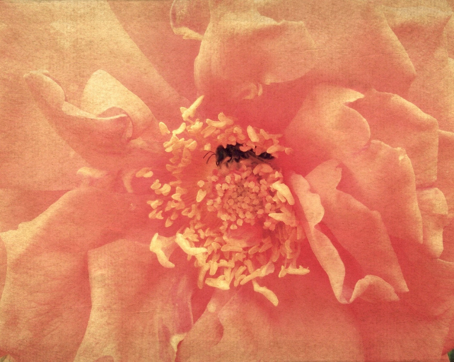 Bumblebee Rose - Fine Art Photography, Flower Gift Idea Wall Art Home Decor Bee Pink - 11x14 - SweetMomentsCaptured