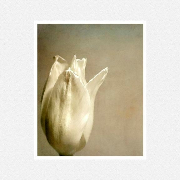 Flower Photography, white tulip, beige, White Tulip flower fine art photography print 8x10 - moonlightphotography