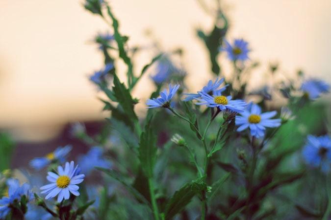 Природа Фотография - В диких печати 8x10 - синий закат полевые цветы сад фотография