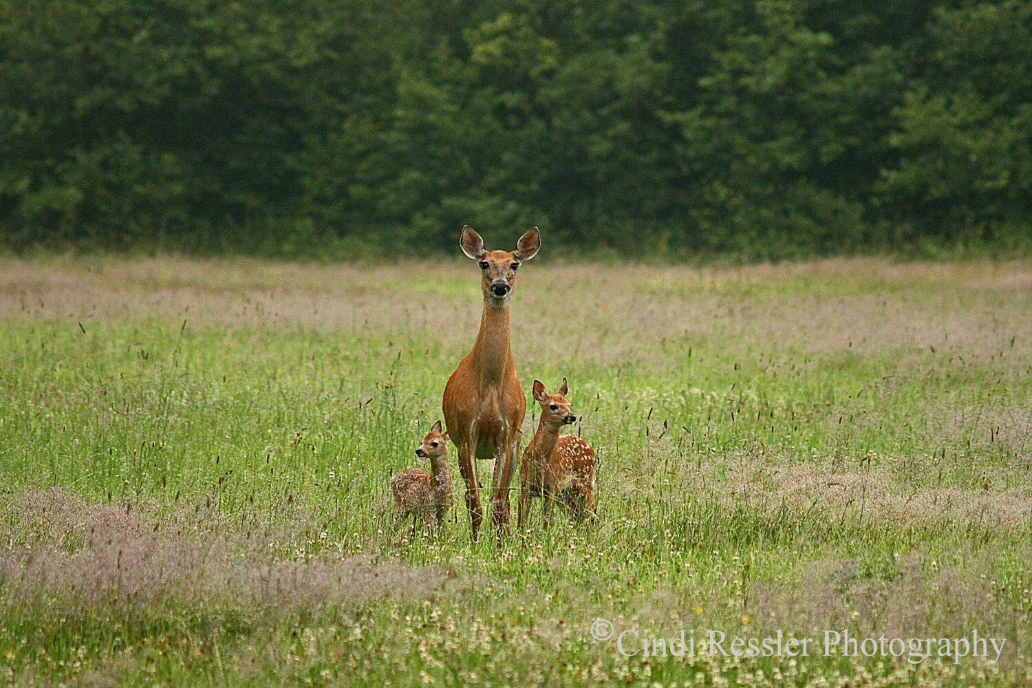 Doe with Twin Fawns, 8x12 FIne Art Photography, Nature Photography - CindiRessler