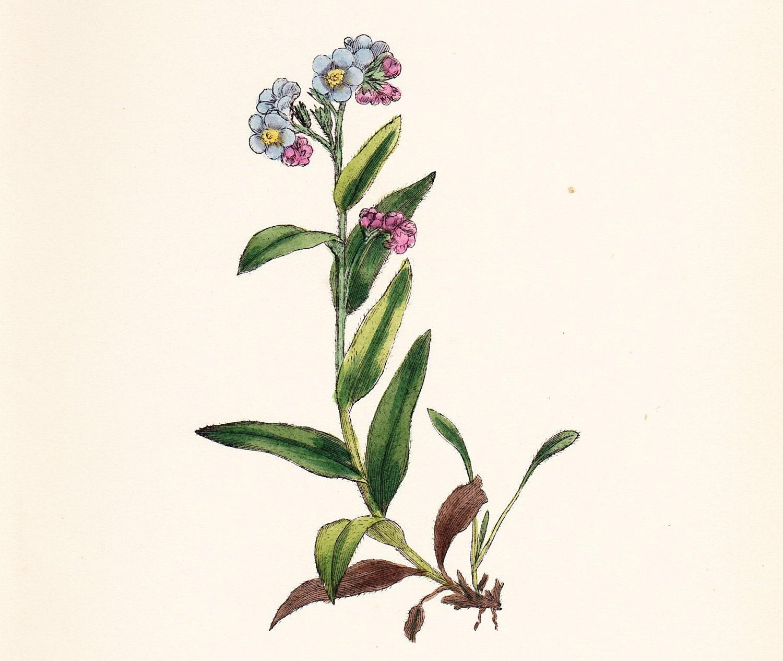Original Antique Print Alpine Forget-me-not (Myosotis alpestris) dated 1880 - slinkymalinkicat