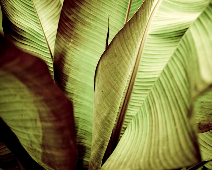 Nature tropical leaf photo abstraction -  Original signed 8 x 10 color photograph of detaiedl banana leaves - PenumbraImages