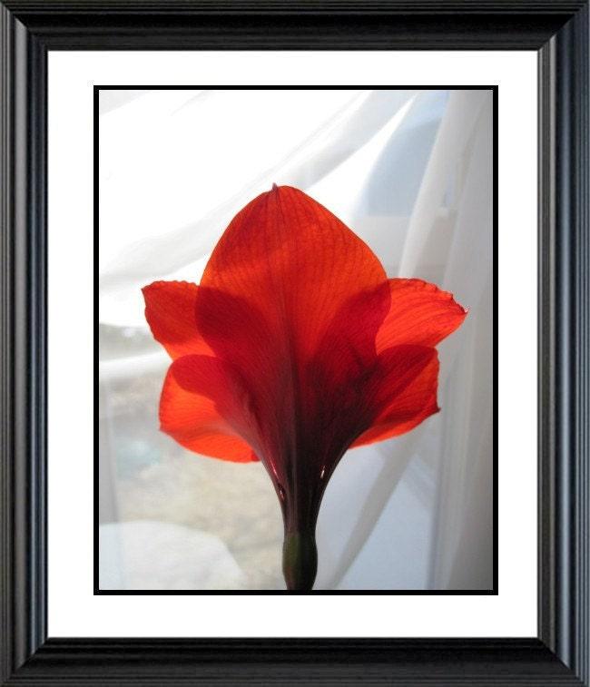 Photograph Amaryllis, 16 X 20, LOVE IS BEAUTIFUL ,  Fine Art Photograph