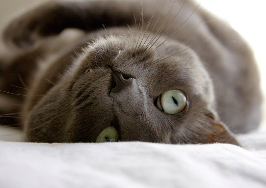 Gray Cat Photo Blank Card - ammfoto