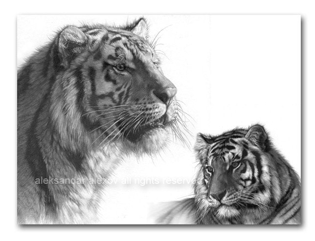 Big Cat Bengal Tiger Wildlife Print - aleksandar