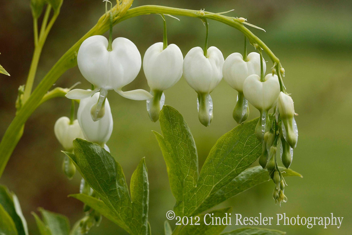 White Bleeding Hearts, 5x7 Fine Art Photography, Floral Photography, Flower Photography - CindiRessler