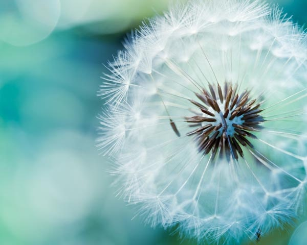 "Dandelion photo - fine art photography 8x10 - blue green teal nature photo print -  photograph botanical ""Delicate"" clickety - mylittlepixels"
