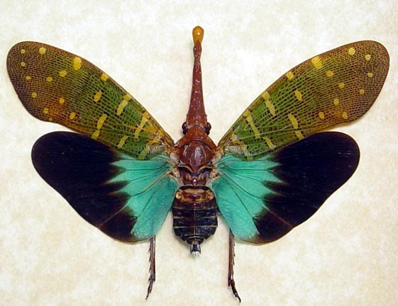 Pyrops Intricata Rare Blue Winged Framed Lanternfly 8074 - REALBUTTERFLYGIFTS