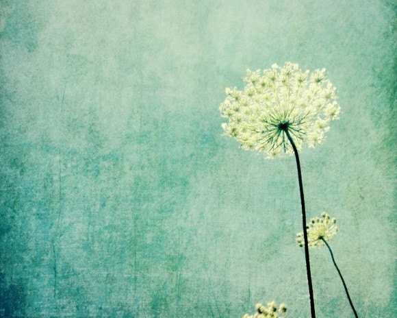 Queen Anne's Lace photography - botanical art print - pastel blue wildflower photograph - white flower minimal wall art 8x10 - LupenGrainne