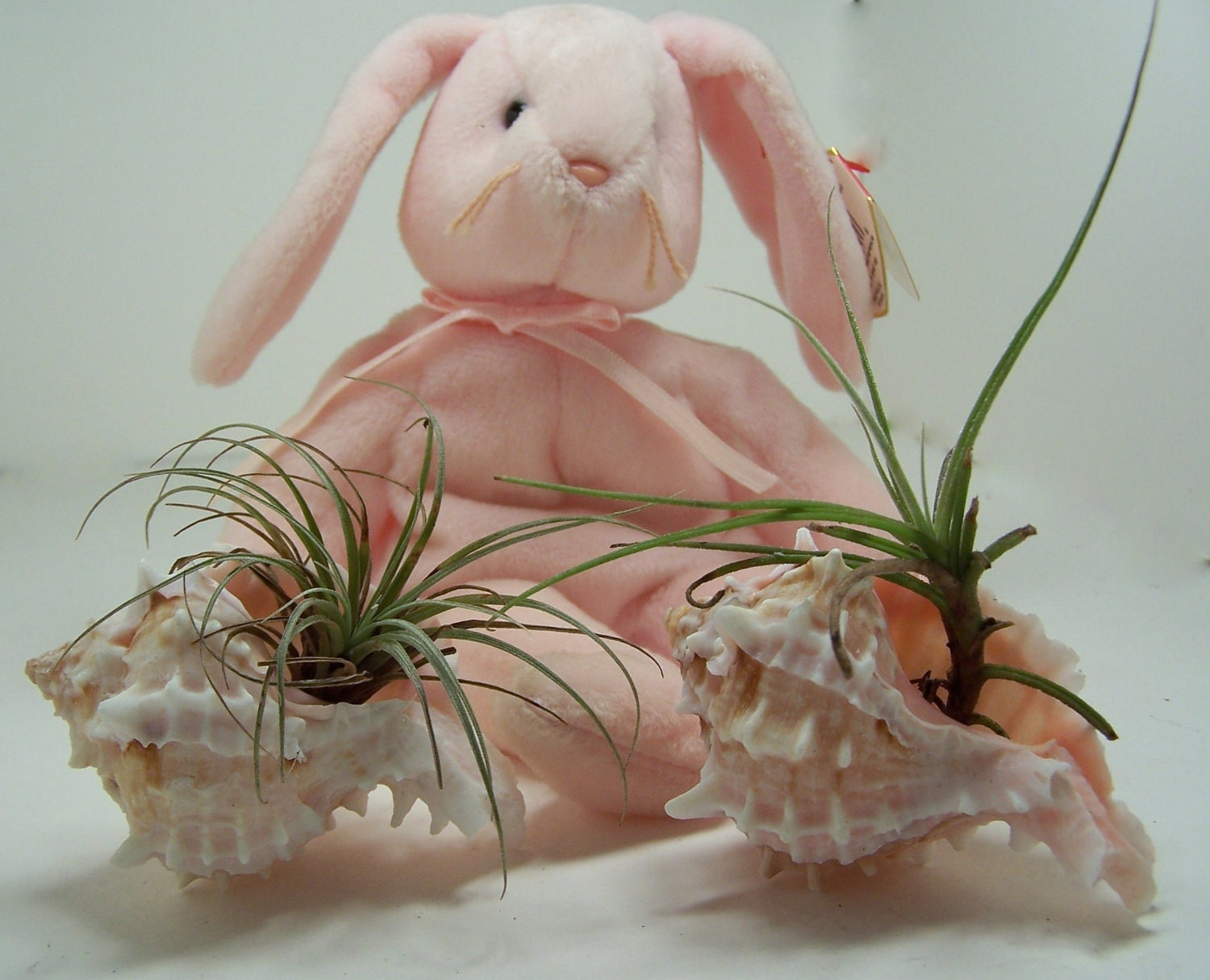 Succulent Air Plant / Airplant / Tillandsia in Pink Murex Shell  / WEDDING Favors