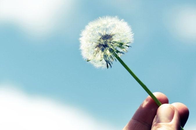 Make A Wish  4x6 Nature Photograph - dandelion white blue sky - alicebgardens