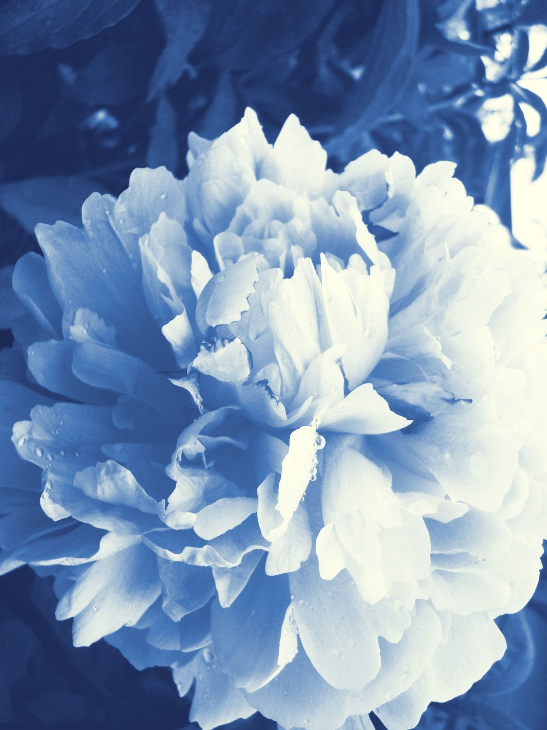 Blue Peony 8 x10 Matted fine art Print Frame size is 11 X 14 - artyecological