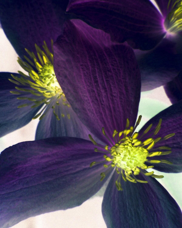 Purple Flower Photograph Clematis Romantic Feminine Home Decor 10x8 print Fantasy... - VictoriaEnglishCharm