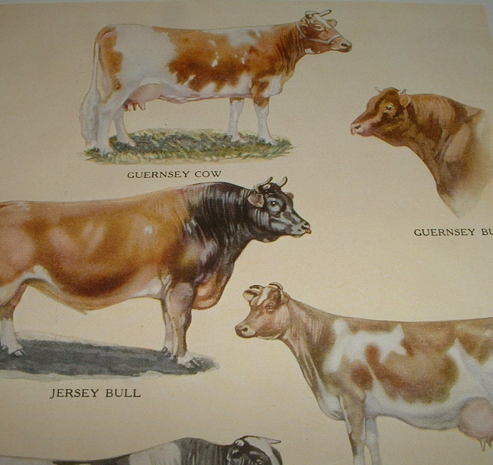 1919 COWS Specimens of Some Famous Dairy Breeds Antique Color Plate Print for Altered Art or Framing
