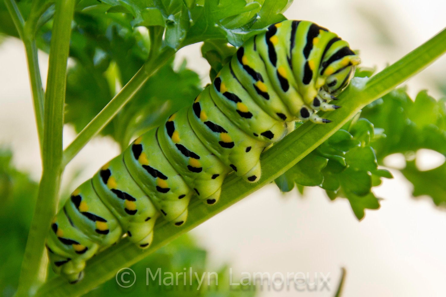 Nature Photography - Fine Art Photography - Green & Black Swallowtail Caterpillar - Wall Art Pictures - 8x10 print