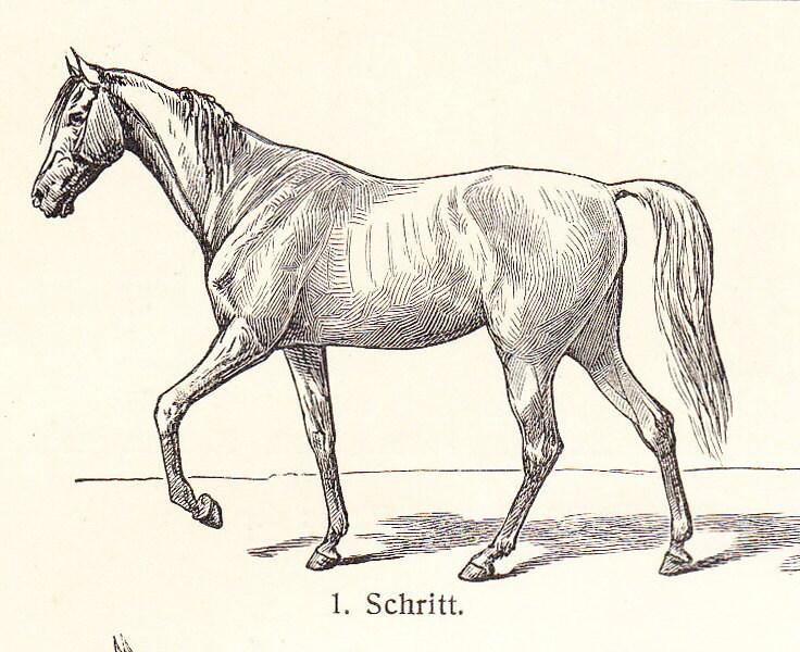 Horse reproductive anatomy