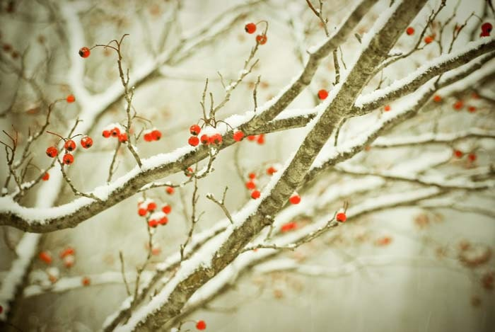 Hawthorne. frosty winter nature photo. red berries. tree silver snow snowy holiday photograph woodland rustic home decor - joystclaire