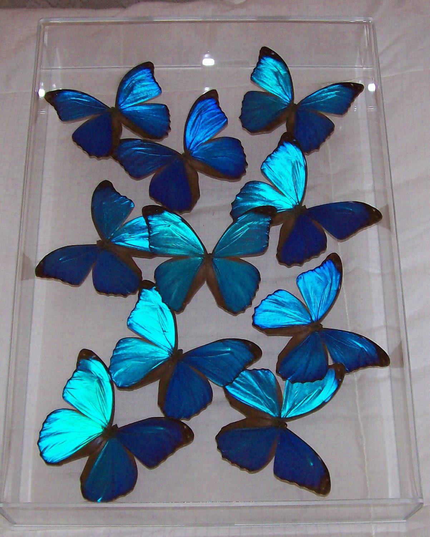 Real Stunning Swarm of Iridescent Blue Morpho Butterflies - ButterflyArtwork