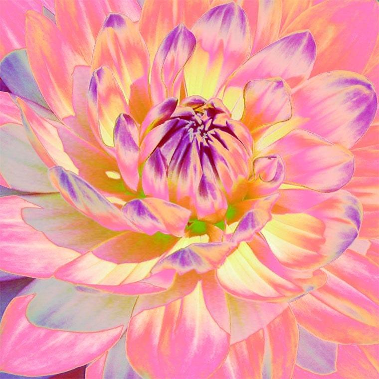 Sunset Dahlia 5 x 5 print - nansmithimages