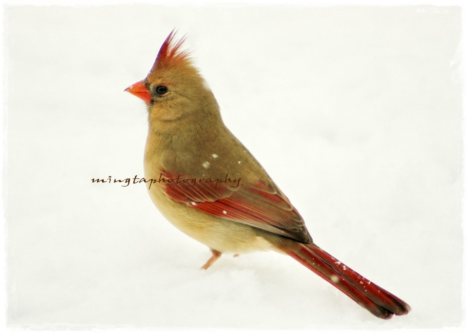 Smile - Female Cardinal In Snow Christmas decoration Cardinal in snow Red in snow For her female cardinal gift for mom Fine Art Print 5x7 - mingtaphotography