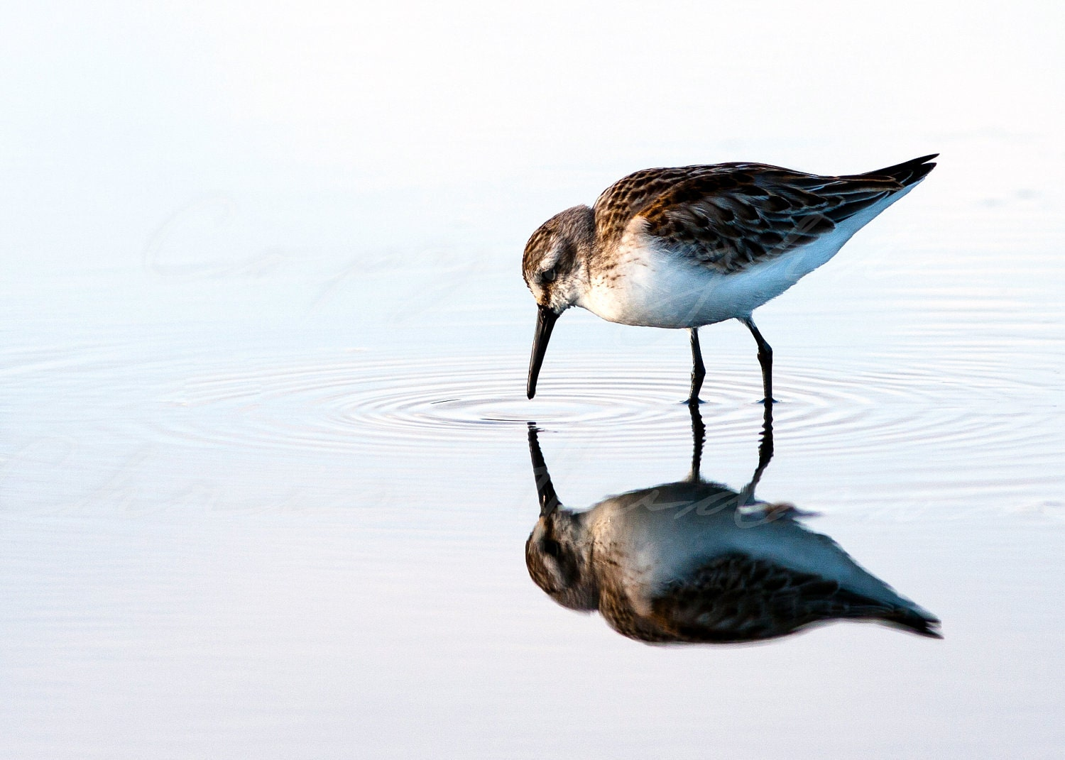 White rumped sandpiper reflection - 5x7 fine art signed and matted print - Simplynaturalphotos