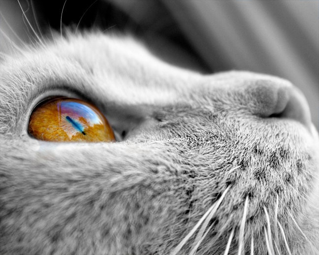 Black and white photography cat photograph 8x10 cat looking out window animal photography