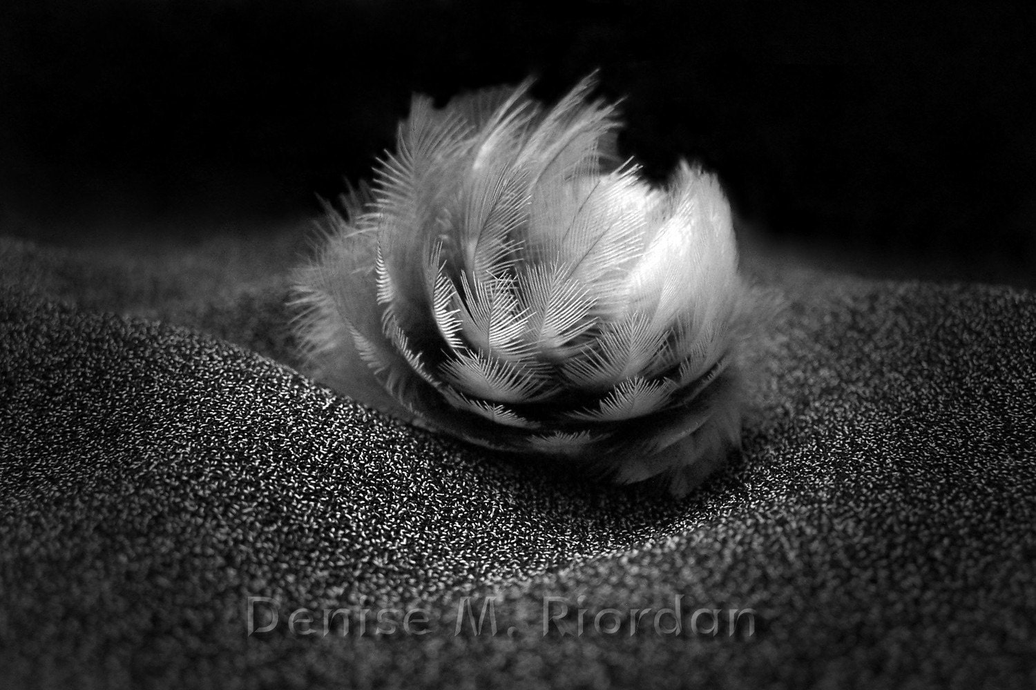 Feather Rose - 11x14 Art Photograph