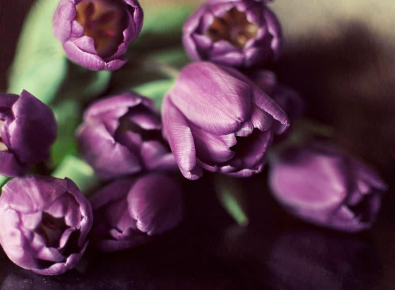 Весной тюльпаны Фотография 8х10 цветов печати - темно-фиолетового романтические фотографии цветов