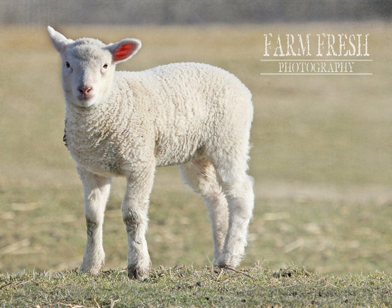 """Farm Fresh Barnyard, """"Spring Lamb Portrait"""" Farm Animal, Photo"""