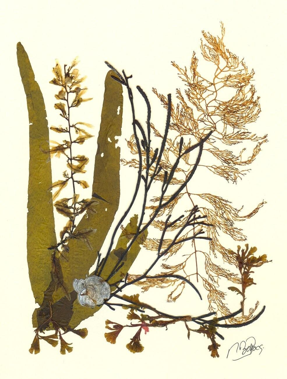 Original natural seaweed artwork MADE TO ORDER  Original brown Algae Collage 13246 Marine Botanical Seaweed Art - AlgaNet