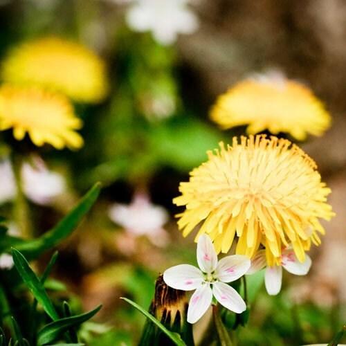 Масло Пэт Желтый - горчично-желтый фотографию цветка.  причудливые фотографии природы.  Wildflower печати.  Декор дома весной