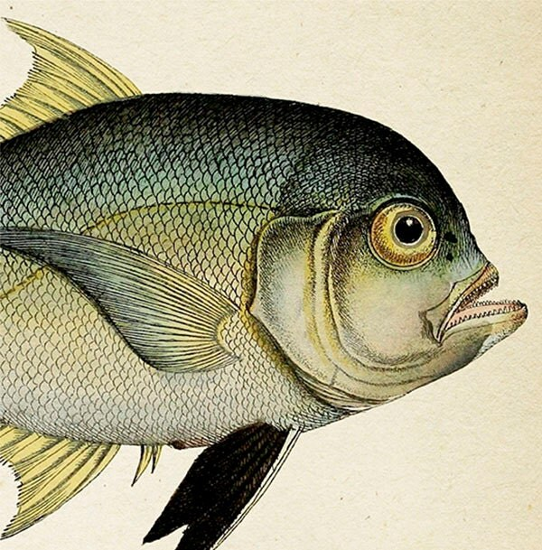 Befuddled 1801 Fish Drawing. Cleftbelly Trevally - 8x10 Fine art print of a vintage natural history antique illustration - ThePrintedVintage