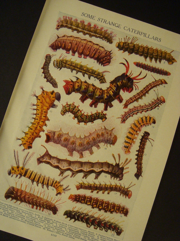 Strange Caterpillars Double Sided Antique Original Insect Print Number 589 - iowajewel