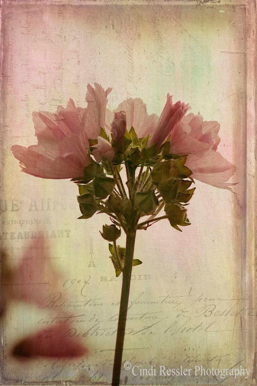 Hollyhock Mallow, 5x7 Fine Art Photography, Flower Photography, Floral Photogaphy - CindiRessler