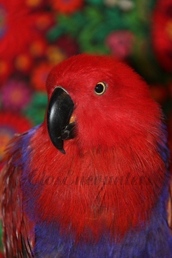 Victoria - Notecard - Fine Art Photograph Eclectus Parrot Portrait Red and Purple Bird Large Blank Card