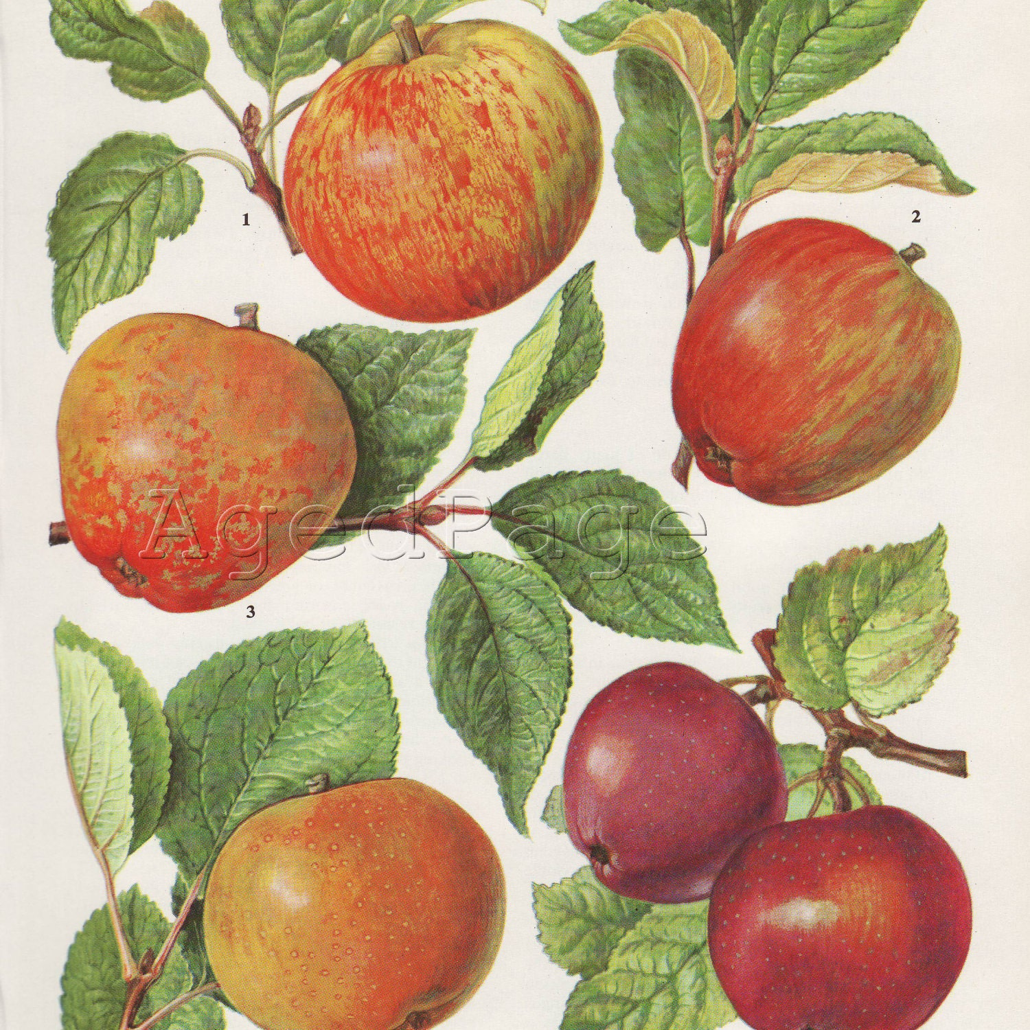 Vintage Botanical Print to Frame, Fruit Illustration, Home and Garden Decor, Apple Varieties 55