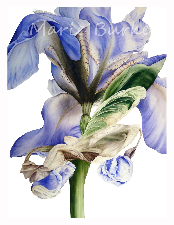 Blue Iris II - fine art botanical print - marieburke1