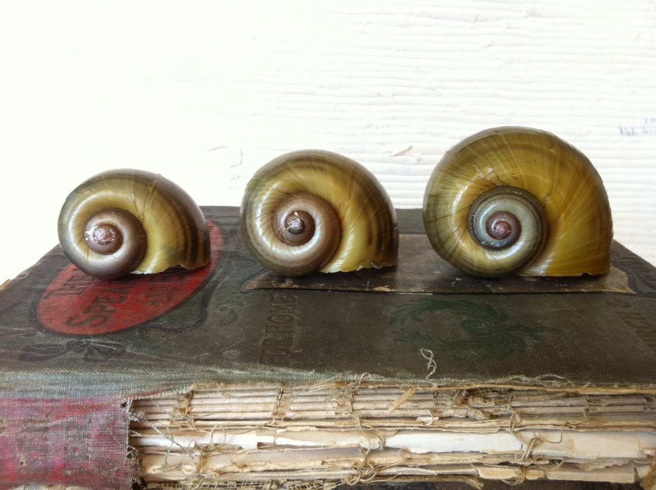 Beautiful Giant Snail Shells Natural History Set of 3