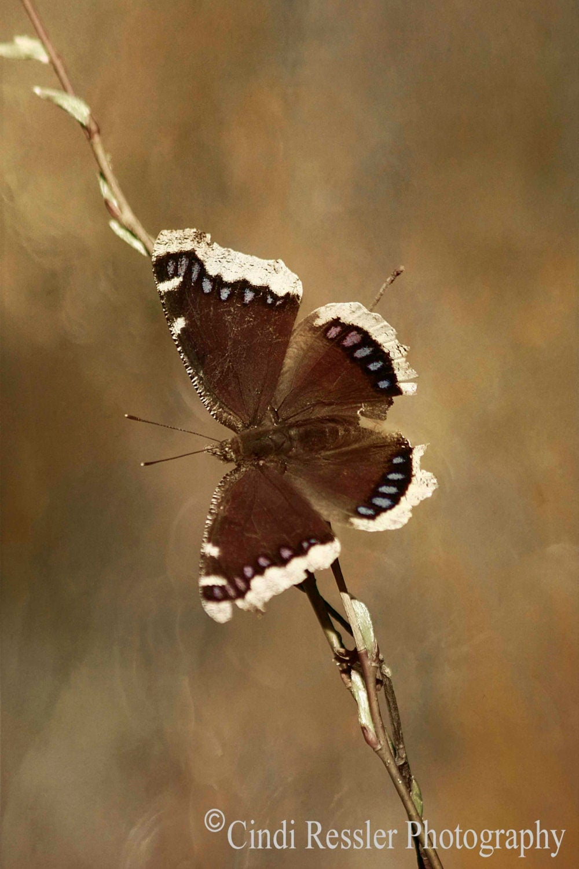 Mourning Cloak Butterfly, 5x7 Fine Art Photography, Butterflies - CindiRessler