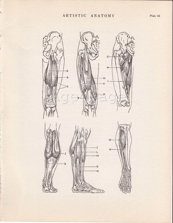 Leg Anatomy Human