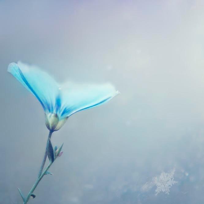 Ice Blue Flower Photography, silver, snowflake, minimalist, pastel, pale, delicate, women, fine art photograph - Raceytay