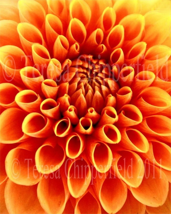Gorgeous Orange Dahlia - Fall - Autumn Flower - 8 x 10 - Digital Fine Art Flower Photo Print - Natures Symmetry - Perfection - Home Decor - PhotosByChipperfield