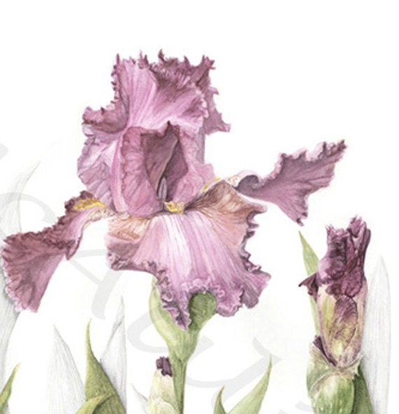 IRIS, reproduction giclee print of my original graphite and watercolor botanical illustration artwork - EtchingsPlus