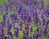 Heirloom Lavender Seeds Hidcote Blue English Perennial Herb