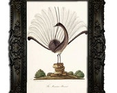 Lyrebird - Natural History of Australia - Digital reproduction of a painting from 1819