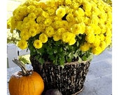 Yellow Mums And Pumpkin Still Life Watercolor Photo,16 x 20 inch,  Fine Art Poster Print