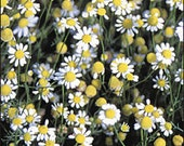 Chamomile - German Herb - Heirloom - 50 Seeds