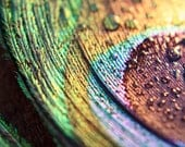 "Peacock Feather Photo. Macro Photo. ""Pretty Peacock"" 8.5x11 inch photo. Colorful. Gold. Green. Blue. Purple. Waterdrop. Raindrops. Abstract"
