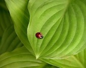 Ladybug on Hostas - Original Photograph 8x10